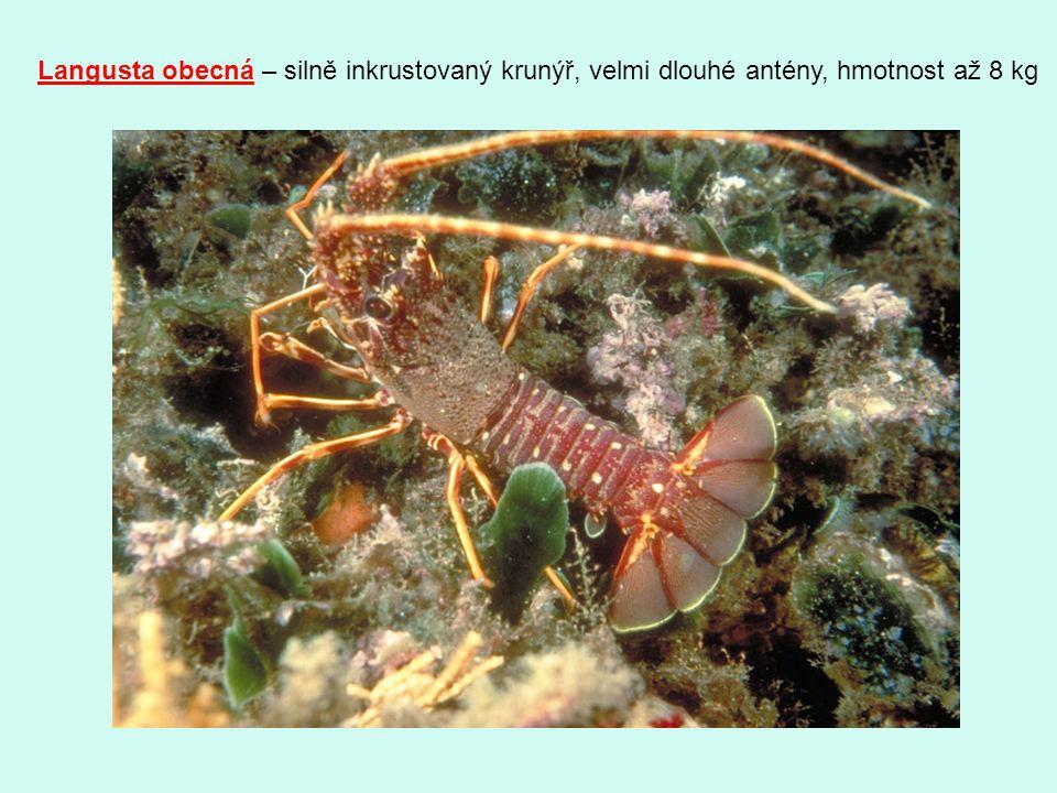 Langusta obecná – silně inkrustovaný krunýř, velmi dlouhé antény, hmotnost až 8 kg