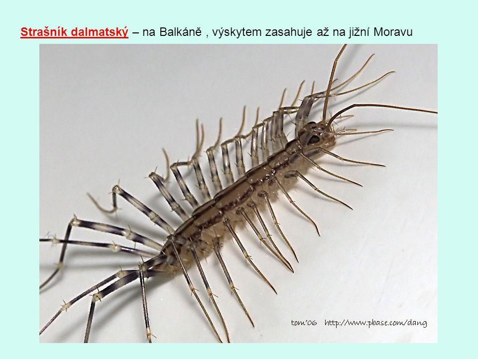 Strašník dalmatský – na Balkáně, výskytem zasahuje až na jižní Moravu