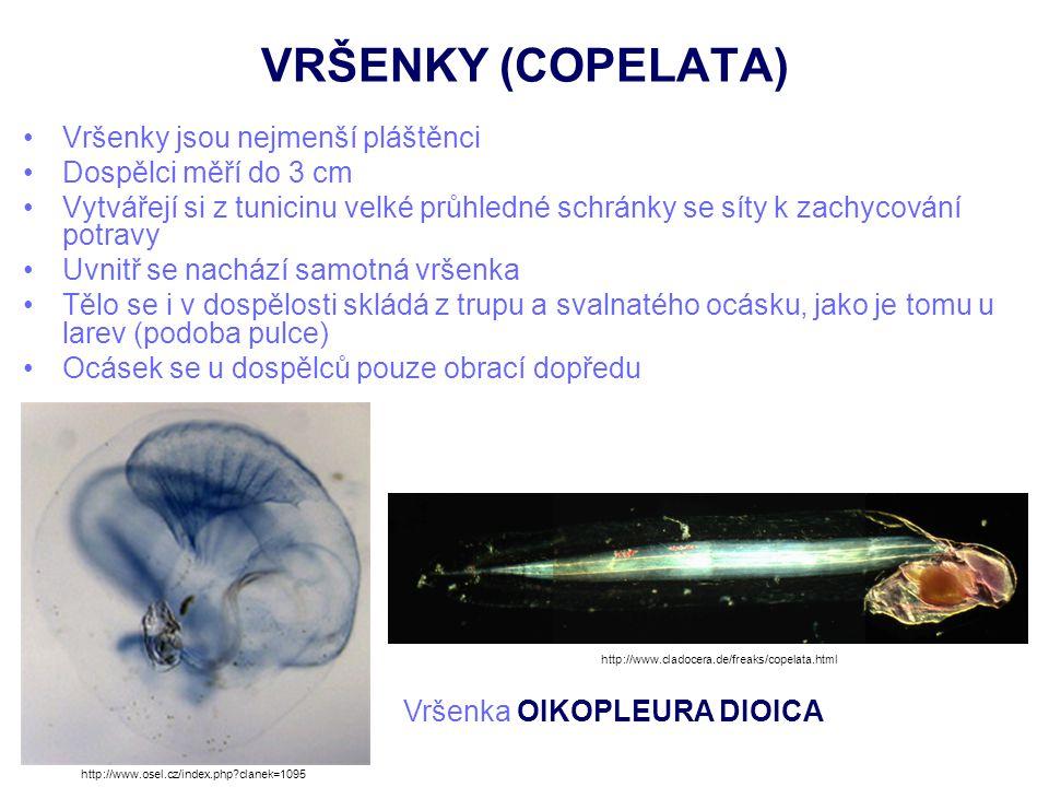 VRŠENKY (COPELATA) Vršenky jsou nejmenší pláštěnci Dospělci měří do 3 cm Vytvářejí si z tunicinu velké průhledné schránky se síty k zachycování potrav