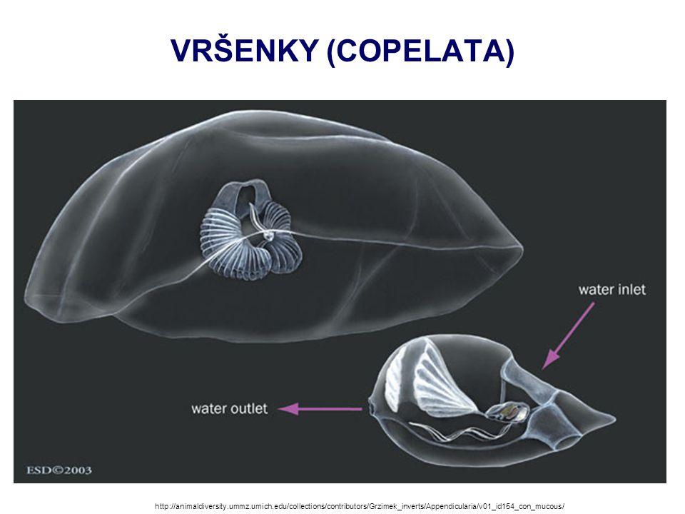 VRŠENKY (COPELATA) http://animaldiversity.ummz.umich.edu/collections/contributors/Grzimek_inverts/Appendicularia/v01_id154_con_mucous/