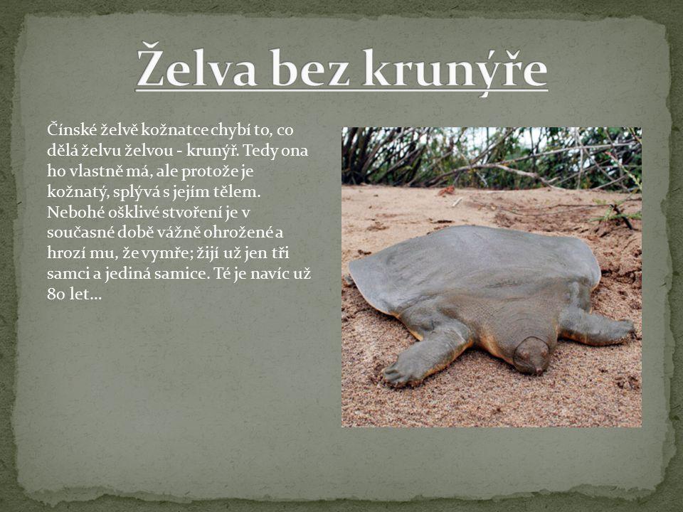Čínské želvě kožnatce chybí to, co dělá želvu želvou - krunýř.