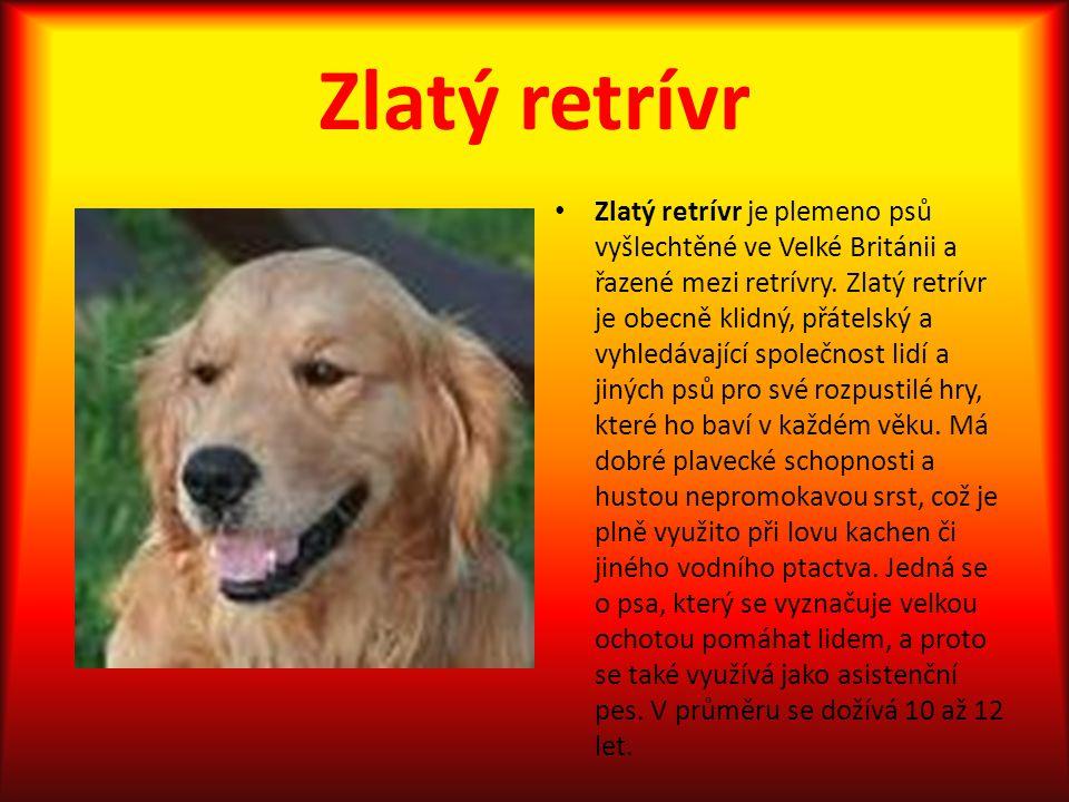 Zlatý retrívr Zlatý retrívr je plemeno psů vyšlechtěné ve Velké Británii a řazené mezi retrívry. Zlatý retrívr je obecně klidný, přátelský a vyhledáva