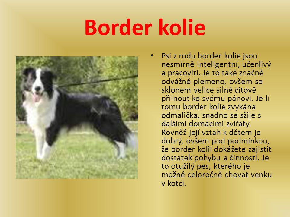 Border kolie Psi z rodu border kolie jsou nesmírně inteligentní, učenlivý a pracovití. Je to také značně odvážné plemeno, ovšem se sklonem velice siln