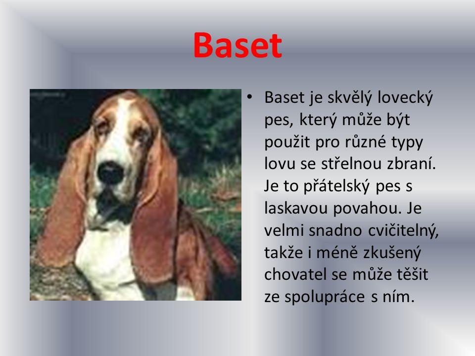 Baset Baset je skvělý lovecký pes, který může být použit pro různé typy lovu se střelnou zbraní. Je to přátelský pes s laskavou povahou. Je velmi snad