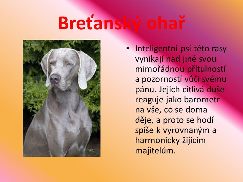 Breťanský ohař Inteligentní psi této rasy vynikají nad jiné svou mimořádnou přítulností a pozorností vůči svému pánu. Jejich citlivá duše reaguje jako