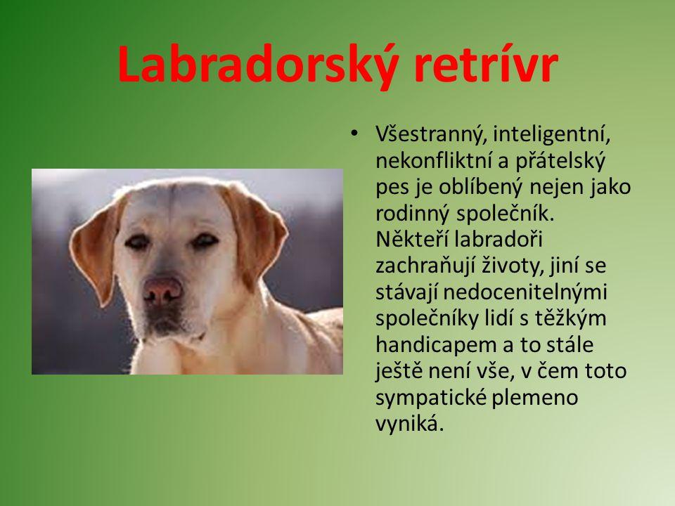 Labradorský retrívr Všestranný, inteligentní, nekonfliktní a přátelský pes je oblíbený nejen jako rodinný společník. Někteří labradoři zachraňují živo