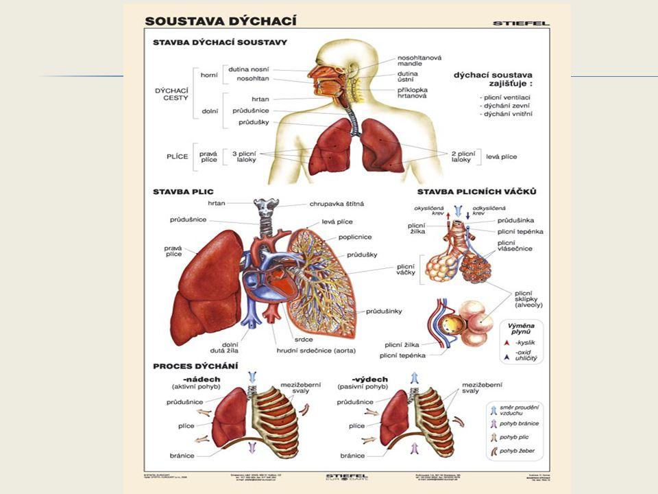  Zajišťuje výměnu dýchacích plynů mezi zevním prostředím a krví.