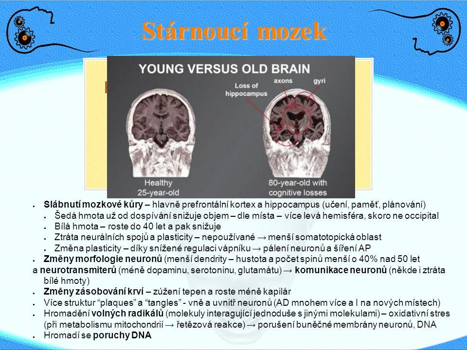 Stárnoucí mozek ● Slábnutí mozkové kůry – hlavně prefrontální kortex a hippocampus (učení, paměť, plánování) ● Šedá hmota už od dospívání snižuje obje