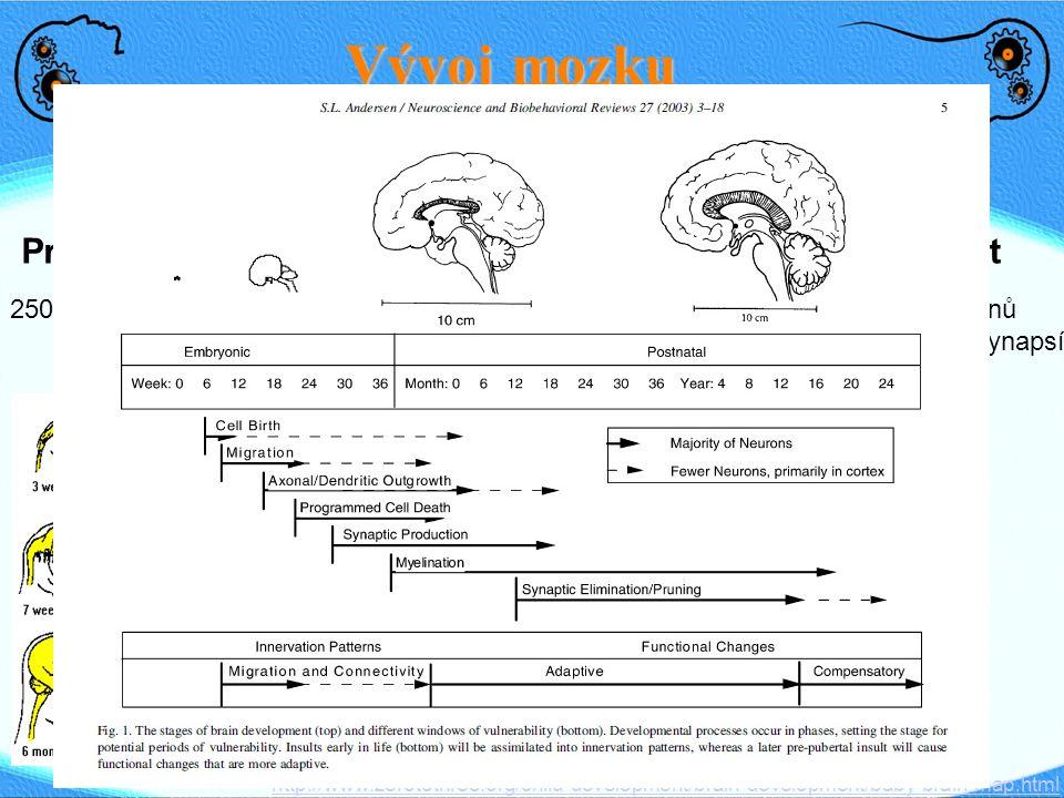 PrenatalNovorozenec3 roky 1 mld neuronů 25% váhy dospělého Vývoj mozku 250,000 neuronů/min75% váhy dospělého (myelin) ● Kojení - myelin ● Pláč – reakc