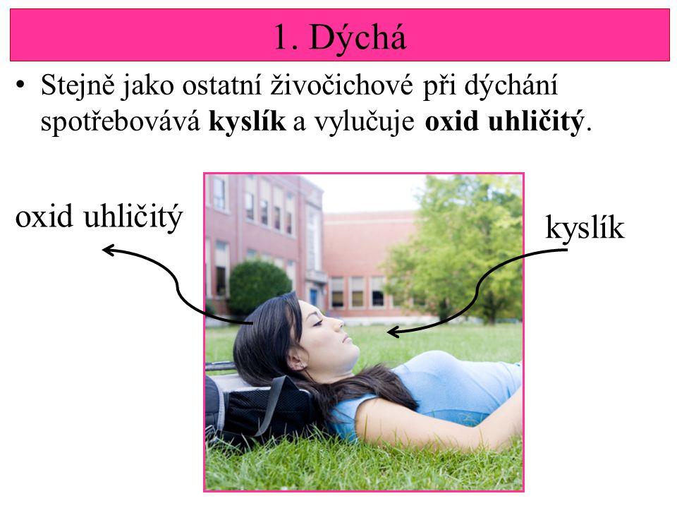 1.Dýchá Stejně jako ostatní živočichové při dýchání spotřebovává kyslík a vylučuje oxid uhličitý.