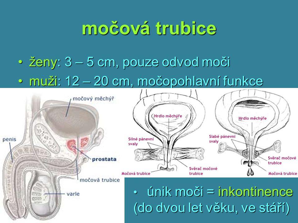 močová trubice ženy: 3 – 5 cm, pouze odvod močiženy: 3 – 5 cm, pouze odvod moči muži: 12 – 20 cm, močopohlavní funkcemuži: 12 – 20 cm, močopohlavní fu