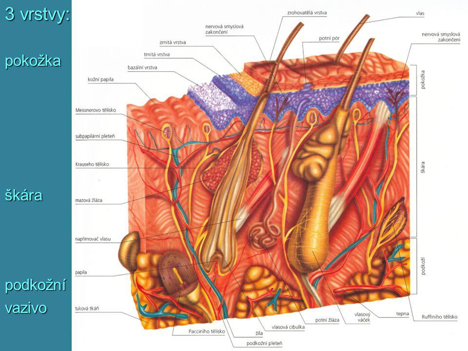 3 vrstvy: pokožkaškárapodkožnívazivo