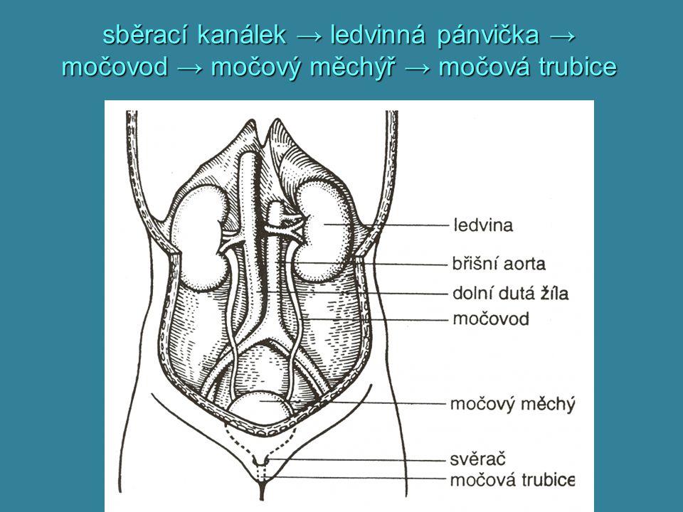 močovod párově, trubice: 25 cm, průměr 5 – 7 mmpárově, trubice: 25 cm, průměr 5 – 7 mm peristaltikaperistaltika