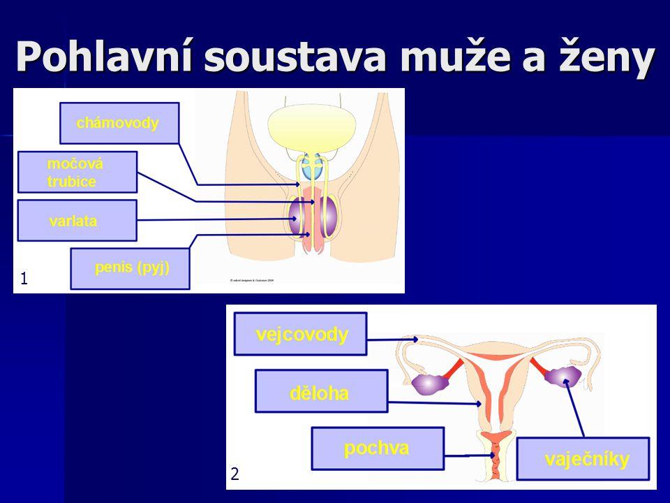 Pohlavní soustava ženy Vejcovody Vejcovody vajíčko je uvolňováno každý měsíc střídavě z levého a pravého vaječníku a je zachyceno ve vejcovodu vajíčko je uvolňováno každý měsíc střídavě z levého a pravého vaječníku a je zachyceno ve vejcovodu zde dochází zpravidla k oplození zde dochází zpravidla k oplození