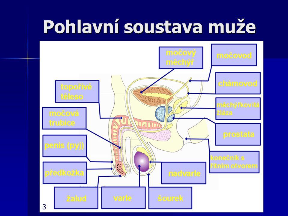 Pohlavní soustava ženy Děloha Děloha zralé vajíčko dále putuje do dělohy zralé vajíčko dále putuje do dělohy nepárový svalnatý orgán nepárový svalnatý orgán je uvnitř pokryta sliznicí - každý měsíc narůstá a prokrvuje se, aby mohla přijmout oplozené vajíčko je uvnitř pokryta sliznicí - každý měsíc narůstá a prokrvuje se, aby mohla přijmout oplozené vajíčko pokud nedojde k oplození vajíčka, děložní sliznice se odlupuje a s malým množstvím krve odchází s těla při menstruaci pokud nedojde k oplození vajíčka, děložní sliznice se odlupuje a s malým množstvím krve odchází s těla při menstruaci