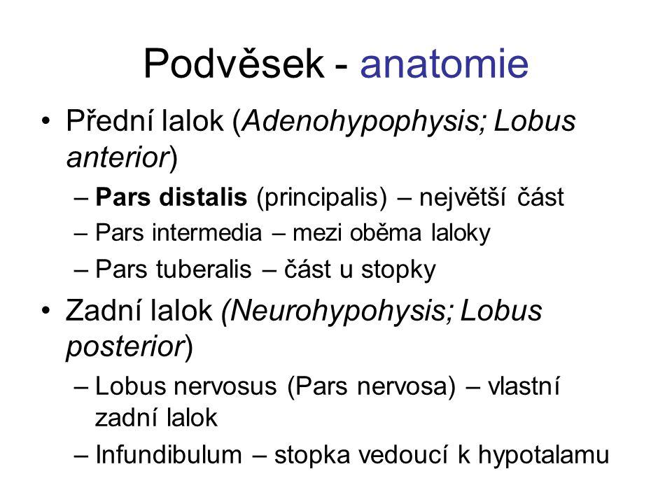 Podvěsek - anatomie Přední lalok (Adenohypophysis; Lobus anterior) –Pars distalis (principalis) – největší část –Pars intermedia – mezi oběma laloky –