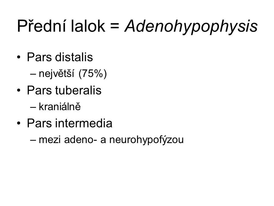 Přední lalok = Adenohypophysis Pars distalis –největší (75%) Pars tuberalis –kraniálně Pars intermedia –mezi adeno- a neurohypofýzou