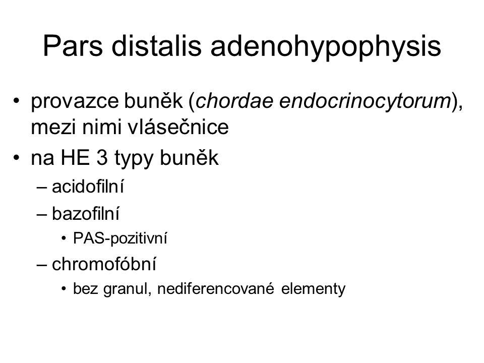 Pars distalis adenohypophysis provazce buněk (chordae endocrinocytorum), mezi nimi vlásečnice na HE 3 typy buněk –acidofilní –bazofilní PAS-pozitivní