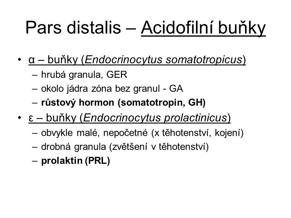 Pars distalis – Acidofilní buňky α – buňky (Endocrinocytus somatotropicus) –hrubá granula, GER –okolo jádra zóna bez granul - GA –růstový hormon (soma