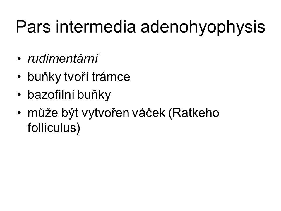 Pars intermedia adenohyophysis rudimentární buňky tvoří trámce bazofilní buňky může být vytvořen váček (Ratkeho folliculus)