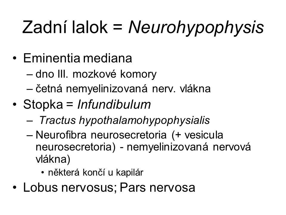 Zadní lalok = Neurohypophysis Eminentia mediana –dno III. mozkové komory –četná nemyelinizovaná nerv. vlákna Stopka = Infundibulum – Tractus hypothala