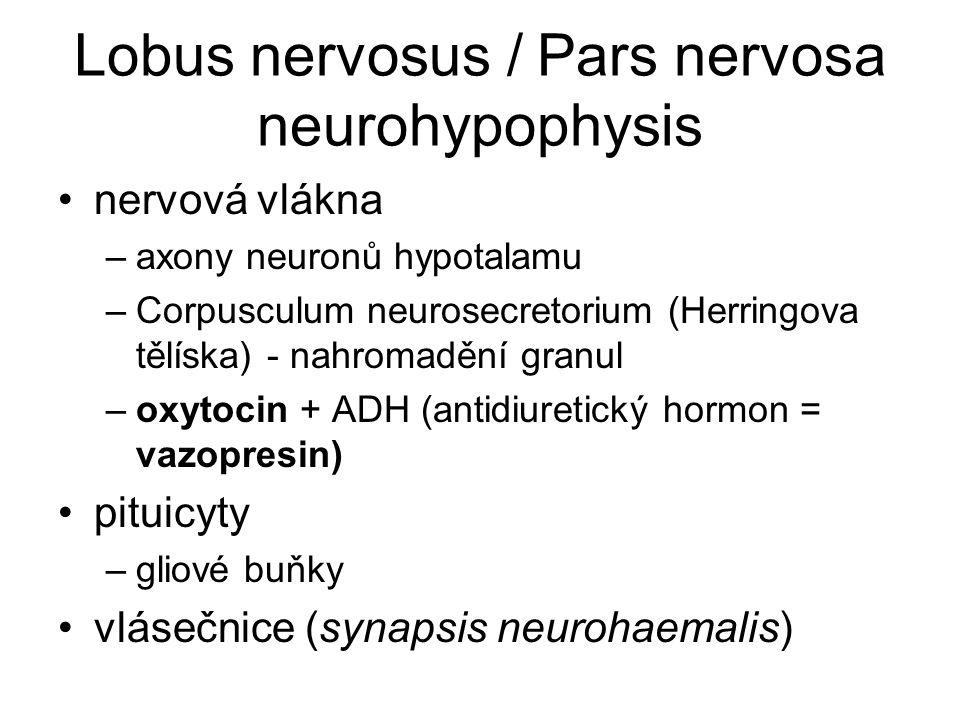 Lobus nervosus / Pars nervosa neurohypophysis nervová vlákna –axony neuronů hypotalamu –Corpusculum neurosecretorium (Herringova tělíska) - nahromaděn