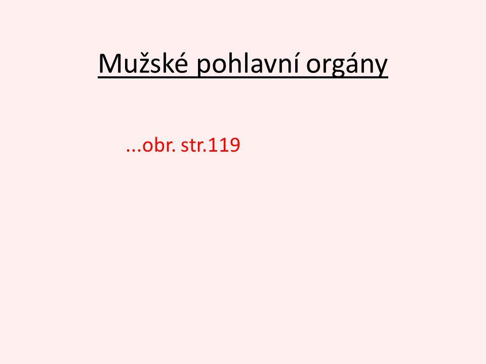 Mužské pohlavní orgány...obr. str.119