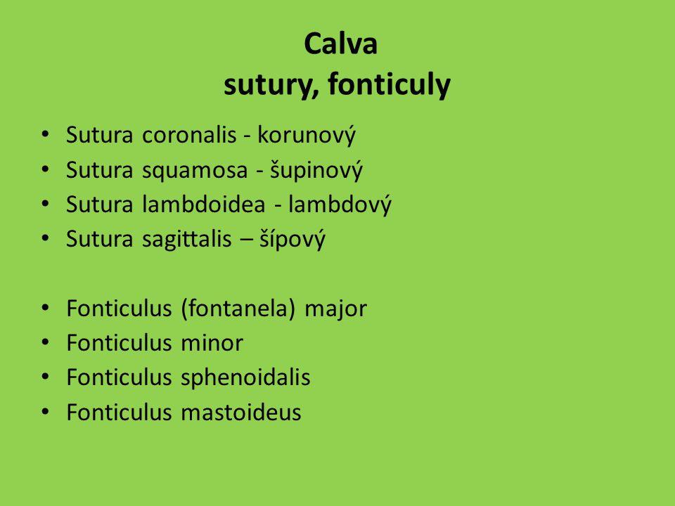 Calva sutury, fonticuly Sutura coronalis - korunový Sutura squamosa - šupinový Sutura lambdoidea - lambdový Sutura sagittalis – šípový Fonticulus (fon