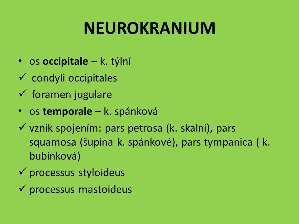 NEUROKRANIUM os occipitale – k. týlní condyli occipitales foramen jugulare os temporale – k. spánková vznik spojením: pars petrosa (k. skalní), pars s
