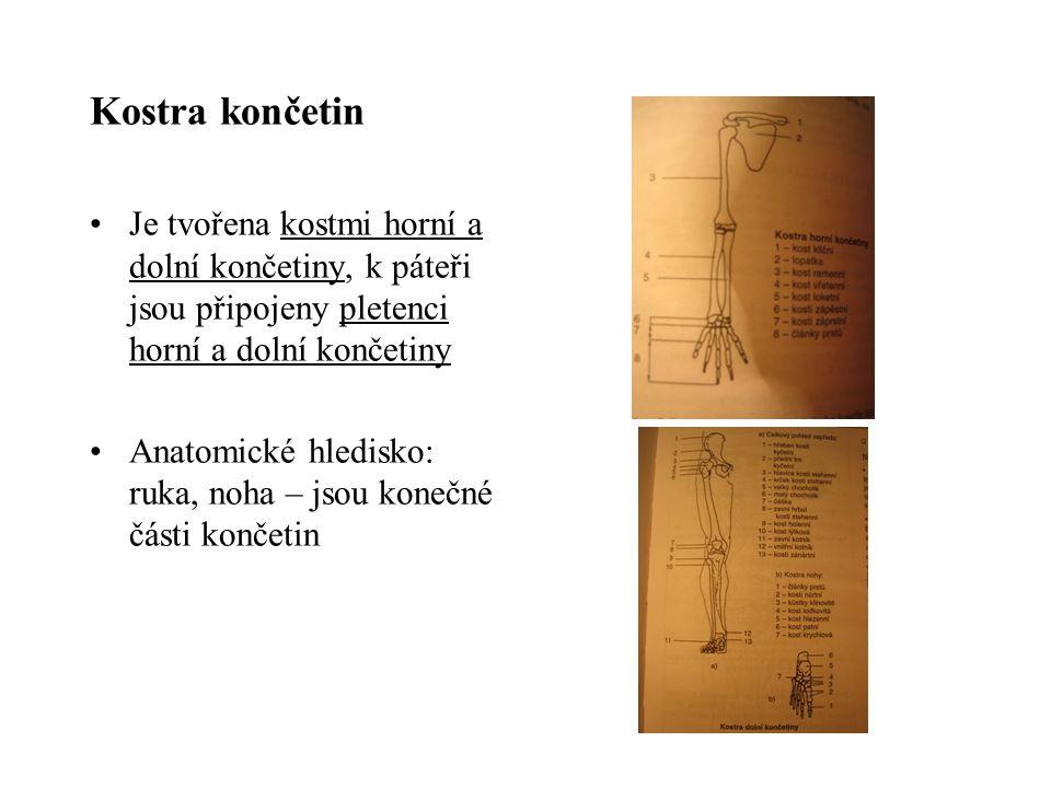 Kostra končetin Je tvořena kostmi horní a dolní končetiny, k páteři jsou připojeny pletenci horní a dolní končetiny Anatomické hledisko: ruka, noha –