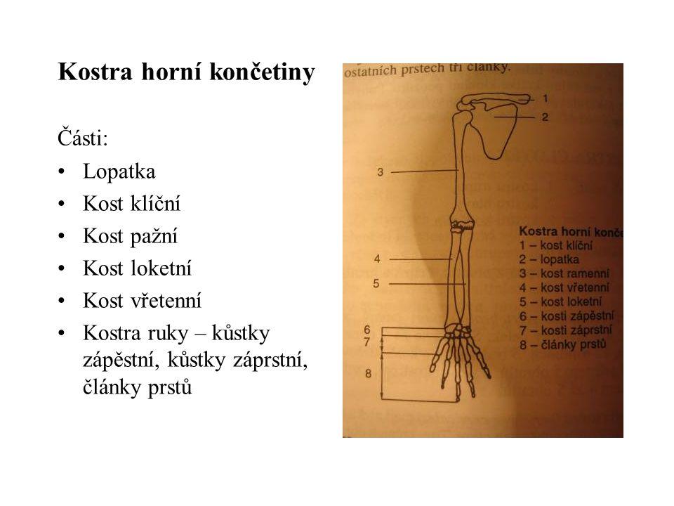 Kostra horní končetiny Části: Lopatka Kost klíční Kost pažní Kost loketní Kost vřetenní Kostra ruky – kůstky zápěstní, kůstky záprstní, články prstů