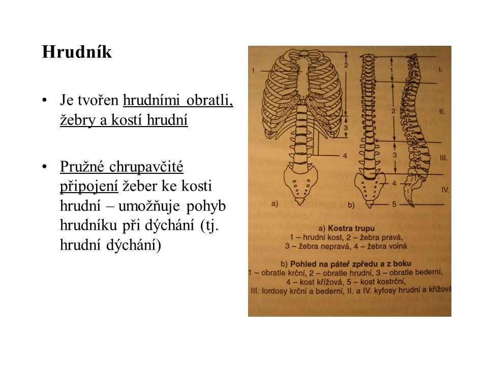 Hrudník Je tvořen hrudními obratli, žebry a kostí hrudní Pružné chrupavčité připojení žeber ke kosti hrudní – umožňuje pohyb hrudníku při dýchání (tj.