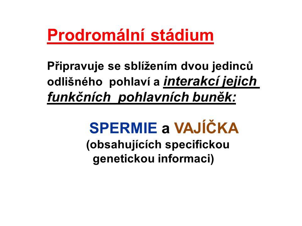 Prodromální stádium Připravuje se sblížením dvou jedinců odlišného pohlaví a interakcí jejich funkčních pohlavních buněk: SPERMIE a VAJÍČKA (obsahujíc