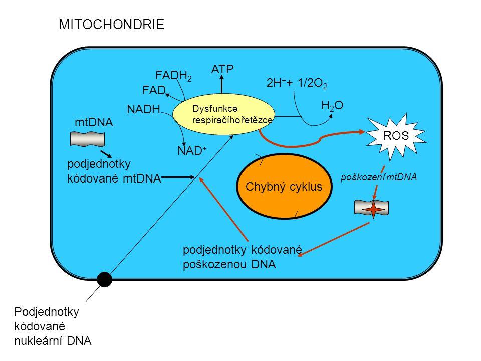 MITOCHONDRIE Dysfunkce respiračího řetězce ROS ATP 2H + + 1/2O 2 H2OH2O mtDNA poškození mtDNA podjednotky kódované poškozenou DNA podjednotky kódované