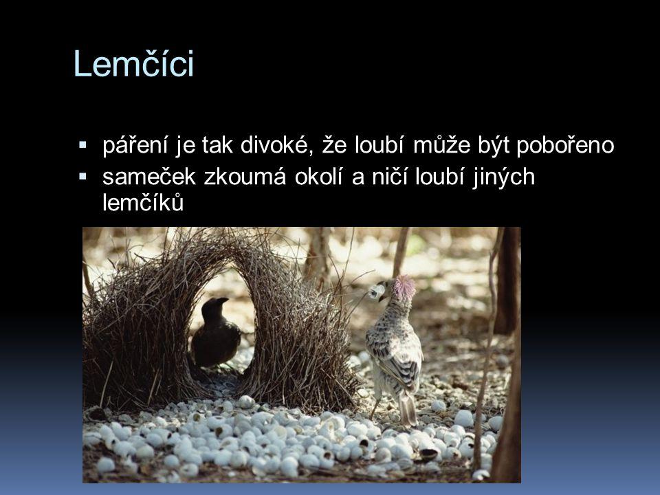 Lemčíci  páření je tak divoké, že loubí může být pobořeno  sameček zkoumá okolí a ničí loubí jiných lemčíků