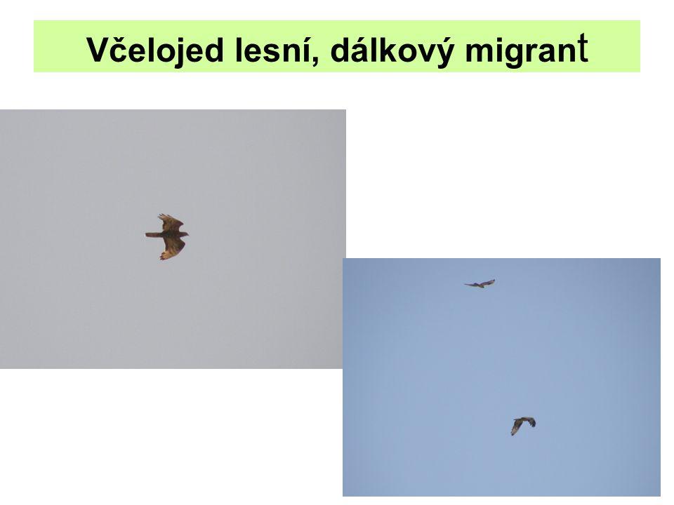 Včelojed lesní, dálkový migran t