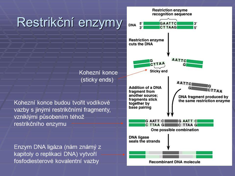 Restrikční enzymy Kohezní konce (sticky ends) Kohezní konce budou tvořit vodíkové vazby s jinými restrikčními fragmenty, vzniklými působením téhož restrikčního enzymu Enzym DNA ligáza (nám známý z kapitoly o replikaci DNA) vytvoří fosfodiesterové kovalentní vazby