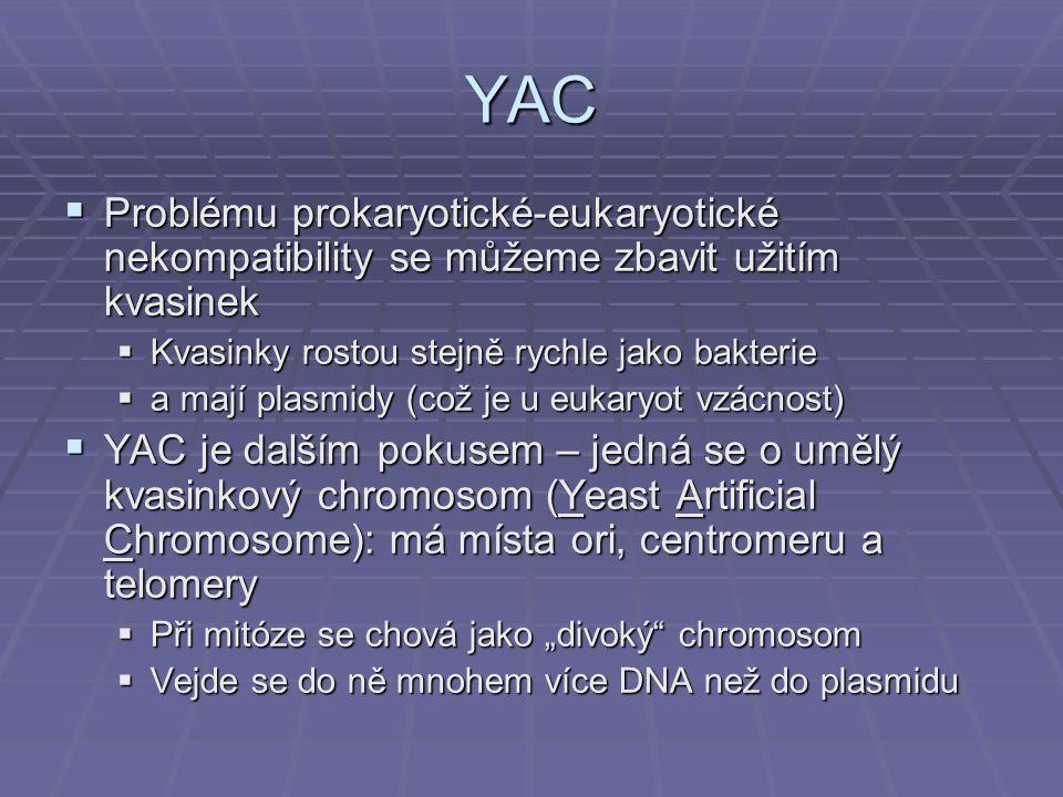 """YAC  Problému prokaryotické-eukaryotické nekompatibility se můžeme zbavit užitím kvasinek  Kvasinky rostou stejně rychle jako bakterie  a mají plasmidy (což je u eukaryot vzácnost)  YAC je dalším pokusem – jedná se o umělý kvasinkový chromosom (Yeast Artificial Chromosome): má místa ori, centromeru a telomery  Při mitóze se chová jako """"divoký chromosom  Vejde se do ně mnohem více DNA než do plasmidu"""