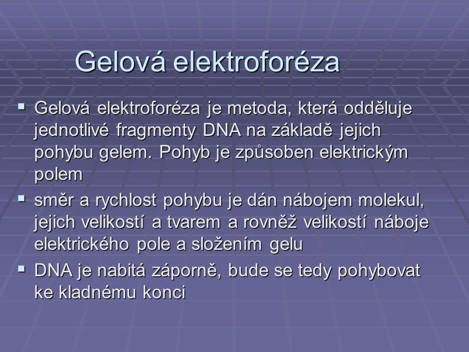 Gelová elektroforéza  Gelová elektroforéza je metoda, která odděluje jednotlivé fragmenty DNA na základě jejich pohybu gelem.