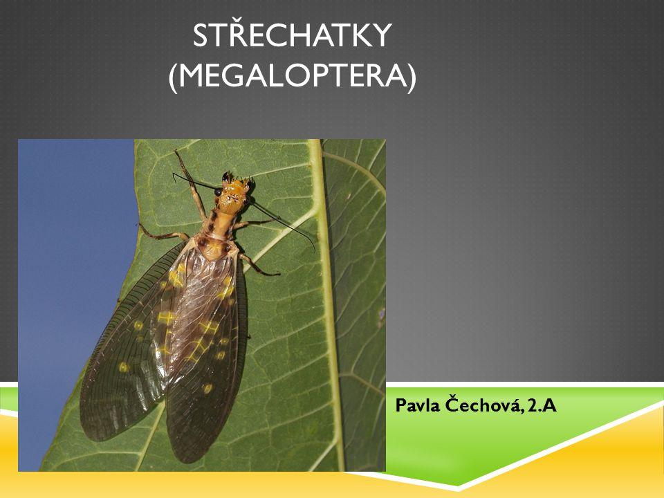 STŘECHATKY  Patří do řádu křídlatého hmyzu  Jsou většinou střední velikosti, ale někteří jedinci mohou dosáhnout až 130 milimetrů  Křídla mají složená do stříšky nad tělem  Jejich skupina je poměrně chudá, pouze 200 druhů  V Česku se vyskytují pouze 4 druhy