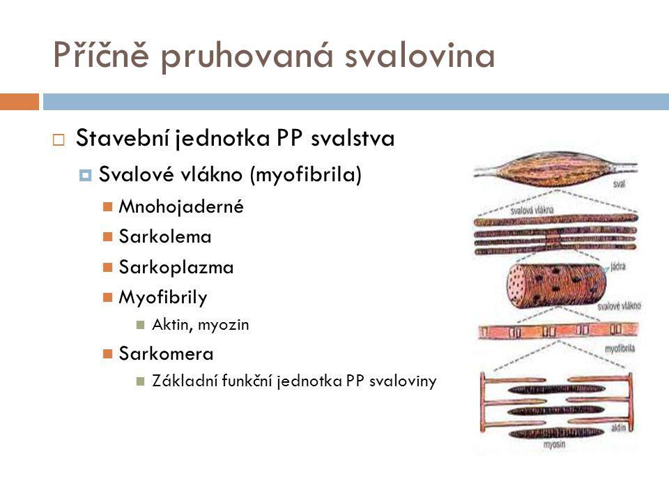 Příčně pruhovaná svalovina  Stavební jednotka PP svalstva  Svalové vlákno (myofibrila) Mnohojaderné Sarkolema Sarkoplazma Myofibrily Aktin, myozin Sarkomera Základní funkční jednotka PP svaloviny