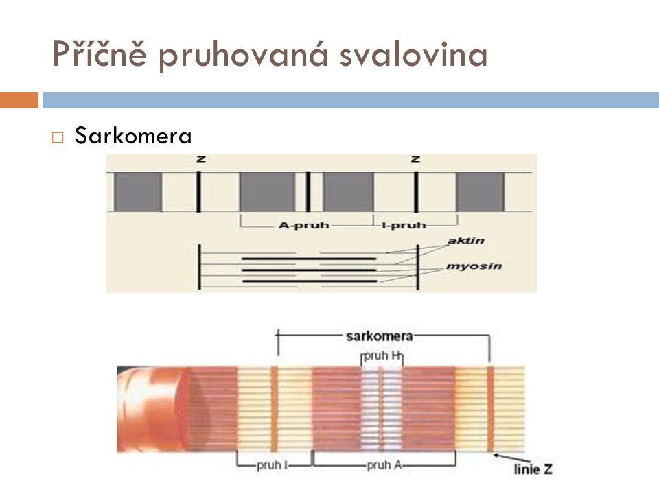 Příčně pruhovaná svalovina  Sarkomera