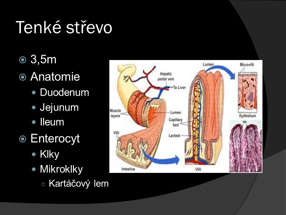 Tenké střevo  3,5m  Anatomie Duodenum Jejunum Ileum  Enterocyt Klky Mikroklky ○ Kartáčový lem
