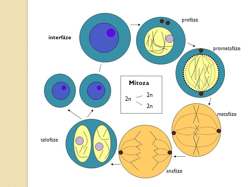 interfáze profáze anafáze telofáze Mitoza 2n metafáze prometafáze