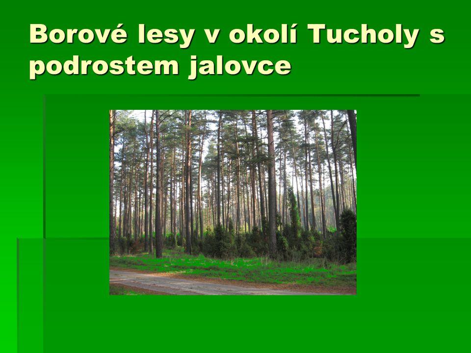Borové lesy v okolí Tucholy s podrostem jalovce