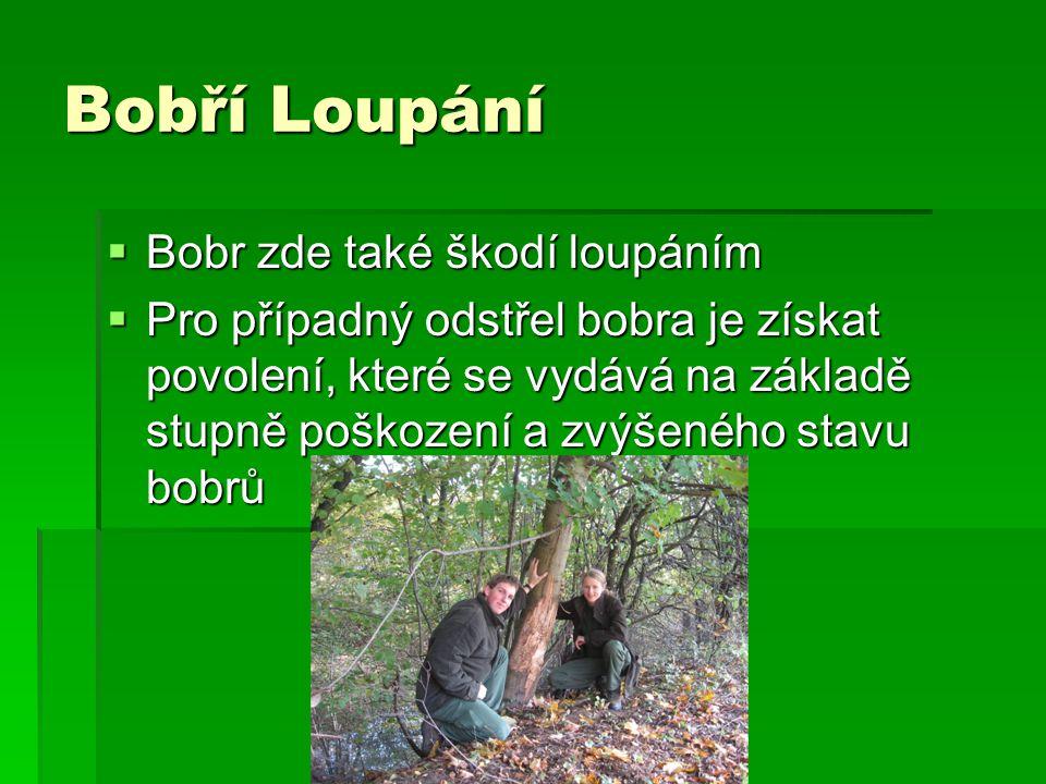 Bobří Loupání  Bobr zde také škodí loupáním  Pro případný odstřel bobra je získat povolení, které se vydává na základě stupně poškození a zvýšeného stavu bobrů