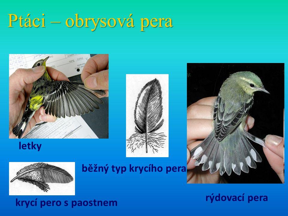 běžný typ krycího pera krycí pero s paostnem rýdovací pera letky Ptáci – obrysová pera