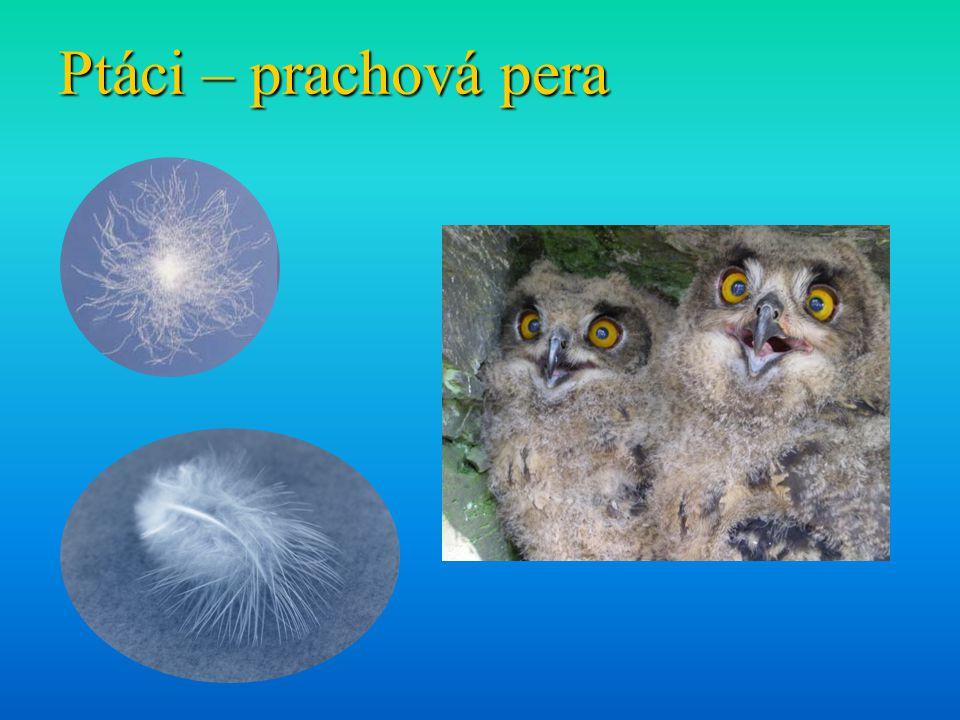 Ptáci – prachová pera