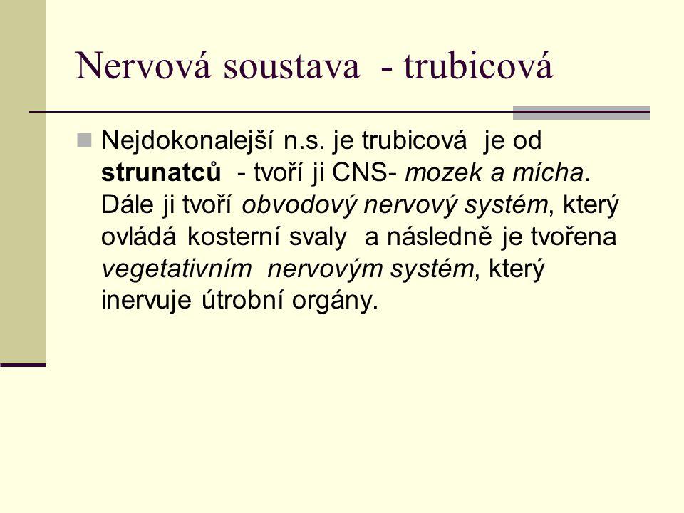 Nervová soustava - trubicová Nejdokonalejší n.s. je trubicová je od strunatců - tvoří ji CNS- mozek a mícha. Dále ji tvoří obvodový nervový systém, kt