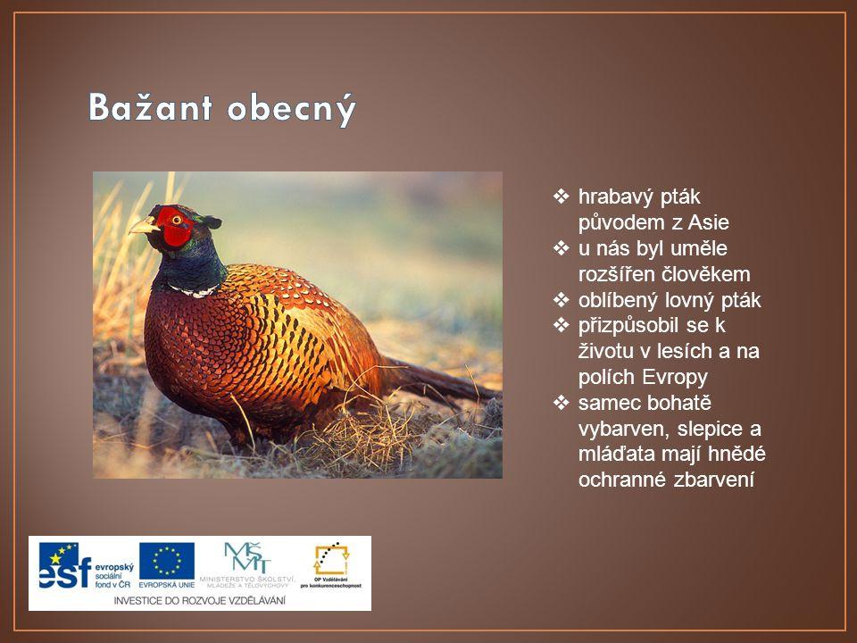 hrabavý pták původem z Asie  u nás byl uměle rozšířen člověkem  oblíbený lovný pták  přizpůsobil se k životu v lesích a na polích Evropy  samec bohatě vybarven, slepice a mláďata mají hnědé ochranné zbarvení